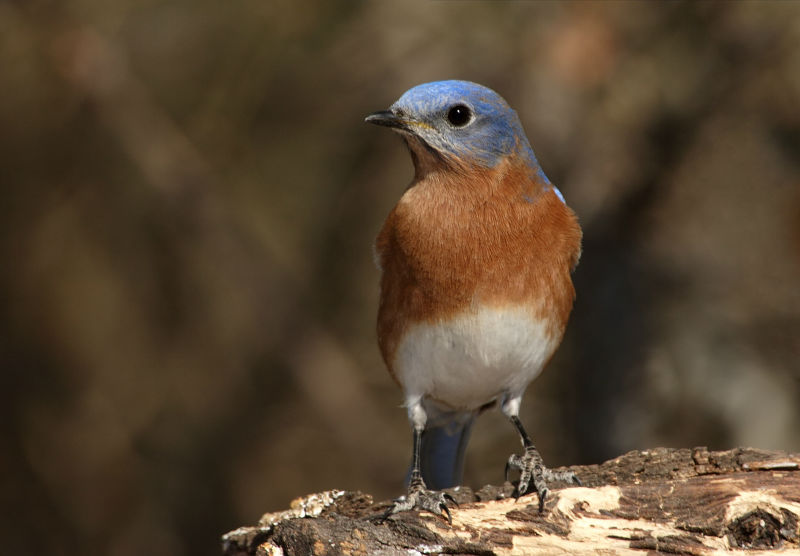 bigstockphoto_bluebird_closeup_male__979066