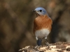 bigstockphoto_bluebird_closeup_male__979066