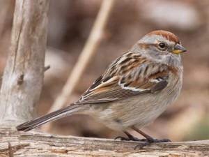 american_tree_sparrow_1